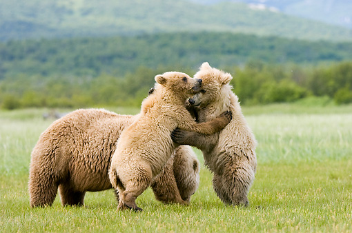 BEA 04 NE0002 01 © Kimball Stock Kodiak Bear Mother With Two Cubs Standing Up Wrestling In Field Alaska