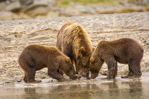 BEA 04 NE0003 01 © Kimball Stock Kodiak Bear Mother With Two Cubs Drinking Water Alaska