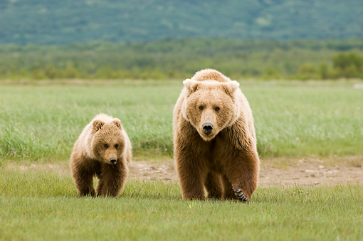 BEA 04 NE0006 01 © Kimball Stock Kodiak Bear Mother With Cub Walking In Field Alaska