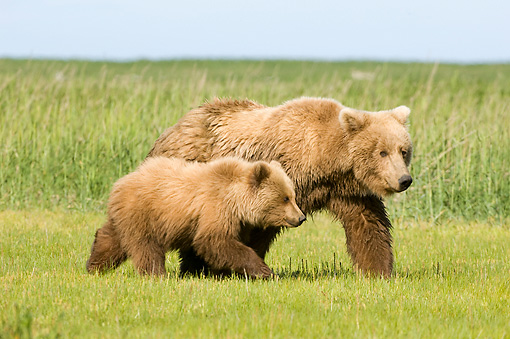BEA 04 NE0007 01 © Kimball Stock Kodiak Bear Mother With Cub Walking In Field Alaska