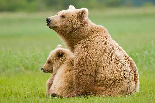 BEA 04 NE0008 01 © Kimball Stock Kodiak Bear Mother With Cub Sitting In Field Alaska