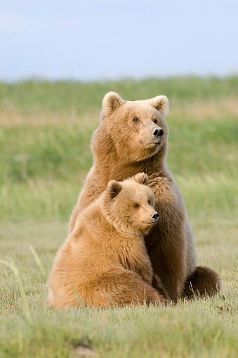 BEA 04 NE0009 01 © Kimball Stock Kodiak Bear Mother With Cub Sitting In Field Alaska