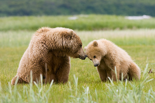 BEA 04 NE0010 01 © Kimball Stock Kodiak Bear Mother With Cub Sitting And Nuzzling In Field Alaska