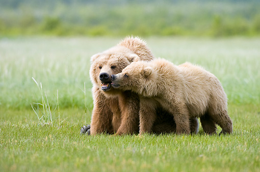 BEA 04 NE0011 01 © Kimball Stock Kodiak Bear Mother With Cub Sitting And Standing Nuzzling In Field Alaska