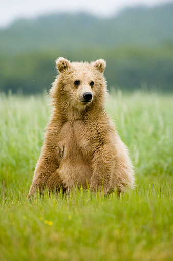 BEA 04 NE0014 01 © Kimball Stock Kodiak Bear Cub Sitting In Field Alaska