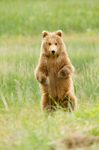 BEA 04 NE0015 01 © Kimball Stock Kodiak Bear Cub Standing On Hind Legs In Field Alaska