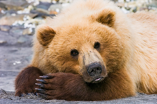 BEA 04 NE0016 01 © Kimball Stock Kodiak Bear Laying On Sand With Head On Paws Alaska