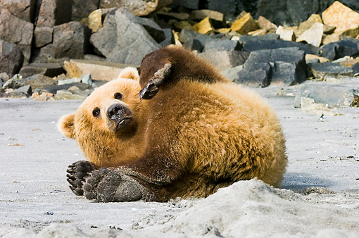 BEA 04 NE0017 01 © Kimball Stock Kodiak Bear Laying On Back On Sand Alaska