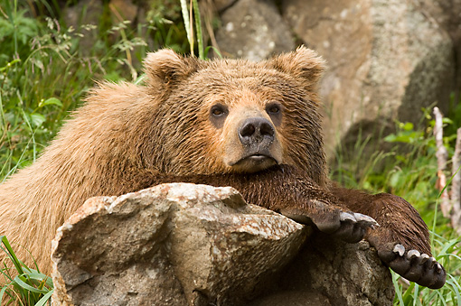 BEA 04 NE0018 01 © Kimball Stock Kodiak Bear Laying Head And Front Legs On Rock Alaska