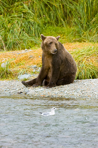 BEA 04 NE0019 01 © Kimball Stock Kodiak Bear Sitting On Shore Near Seagull Brush Alaska