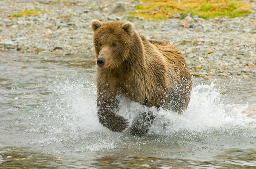 BEA 04 NE0023 01 © Kimball Stock Kodiak Bear Running In Water Alaska