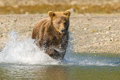 BEA 04 NE0024 01 © Kimball Stock Kodiak Bear Running In Water Alaska