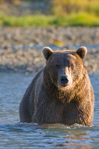 BEA 04 NE0026 01 © Kimball Stock Kodiak Bear Standing In Water Alaska Head On