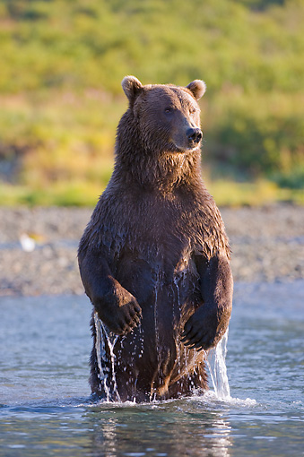 BEA 04 NE0027 01 © Kimball Stock Kodiak Bear Standing On Hind Legs In Water Alaska