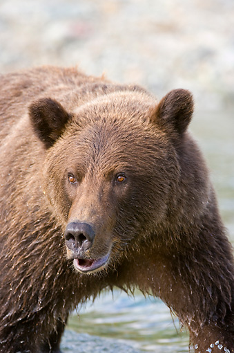 BEA 04 NE0028 01 © Kimball Stock Kodiak Bear Standing In Water Alaska Close Up