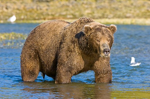 BEA 04 NE0029 01 © Kimball Stock Kodiak Bear Standing In Water Alaska