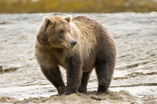 BEA 04 NE0031 01 © Kimball Stock Kodiak Bear Standing On Sand Alaska