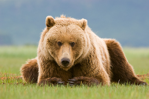 BEA 04 NE0033 01 © Kimball Stock Kodiak Bear Laying In Field Alaska