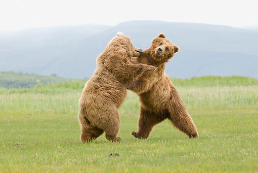 BEA 04 NE0034 01 © Kimball Stock Two Kodiak Bears Fighting In Field Alaska
