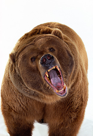 BEA 04 RK0014 02 © Kimball Stock Close Up Of Kodiak Bear Growling On White Seamless Studio