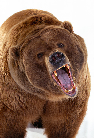BEA 04 RK0014 03 © Kimball Stock Close Up Of Kodiak Bear Growling On White Seamless Studio