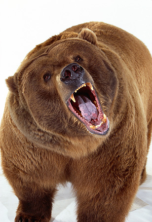 BEA 04 RK0014 13 © Kimball Stock Close Up Of Kodiak Bear Growling On White Seamless Studio
