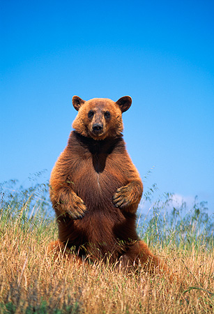 BEA 05 RK0003 11 © Kimball Stock Cinnamon Bear Standing On Hind Legs In Tall Dry Grass Blue Sky