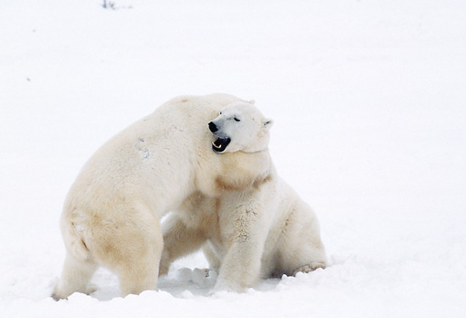 BEA 06 BA0001 01 © Kimball Stock Two Polar Bears Fighting In Snow