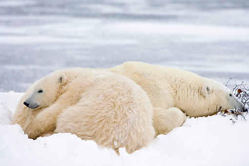 BEA 06 DA0001 01 © Kimball Stock Polar Bear Mother And Cub Resting In Snow At Hudson Bay, Canada