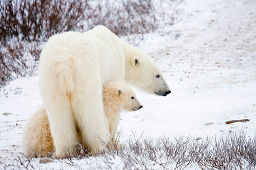 BEA 06 DA0002 01 © Kimball Stock Polar Bear Mother And Two Cubs Standing In Snow At Hudson Bay, Canada