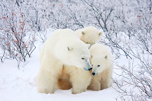 BEA 06 DA0003 01 © Kimball Stock Polar Bear Mother And Two Cubs Standing In Snow At Hudson Bay, Canada