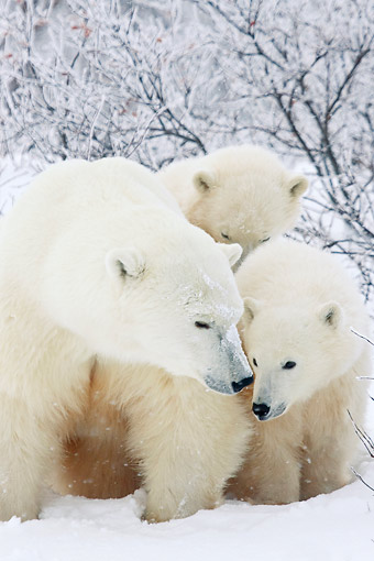 BEA 06 DA0004 01 © Kimball Stock Polar Bear Mother And Two Cubs Standing In Snow At Hudson Bay, Canada