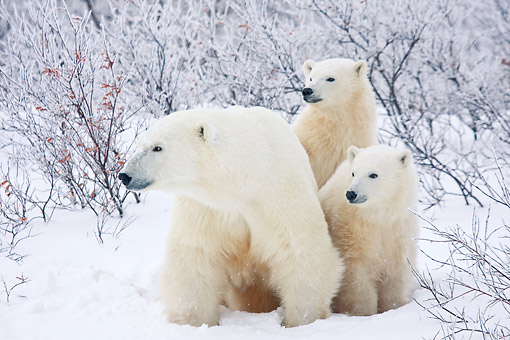 BEA 06 DA0005 01 © Kimball Stock Polar Bear Mother And Two Cubs Standing In Snow At Hudson Bay, Canada