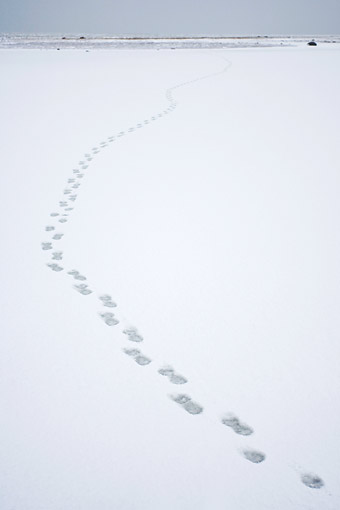 BEA 06 DA0007 01 © Kimball Stock Polar Bear Tracks At Hudson Bay, Canada
