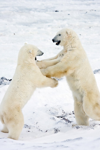 BEA 06 DA0008 01 © Kimball Stock Two Polar Bears Sparring At Hudson Bay, Canada