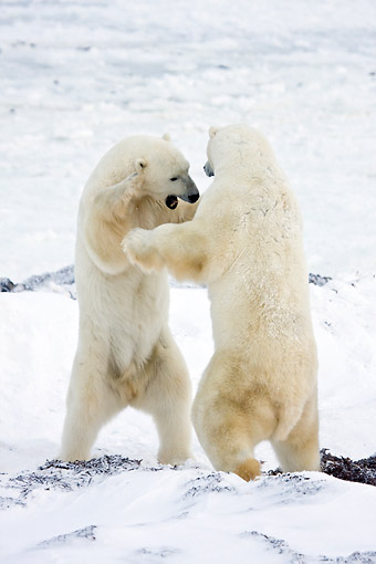 BEA 06 DA0009 01 © Kimball Stock Two Polar Bears Sparring At Hudson Bay, Canada