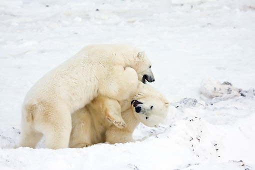 BEA 06 DA0010 01 © Kimball Stock Two Polar Bears Sparring At Hudson Bay, Canada