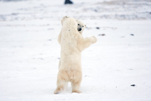 BEA 06 DA0011 01 © Kimball Stock Two Polar Bears Sparring At Hudson Bay, Canada
