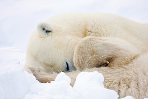 BEA 06 DA0012 01 © Kimball Stock Close-Up Of Polar Bear Sleeping In Snow At Hudson Bay, Canada