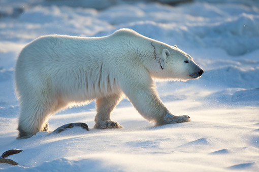 BEA 06 DA0015 01 © Kimball Stock Polar Bear Walking Through Snow At Hudson Bay, Canada