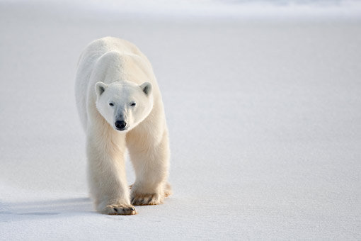 BEA 06 DA0016 01 © Kimball Stock Polar Bear Walking Through Snow At Hudson Bay, Canada