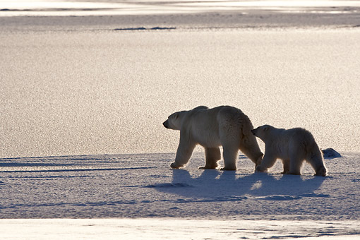BEA 06 DA0018 01 © Kimball Stock Silhouette Of Polar Bear Mother And Cub Walking Through Snow At Hudson Bay, Canada