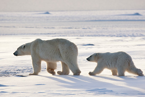 BEA 06 DA0019 01 © Kimball Stock Silhouette Of Polar Bear Mother And Cub Walking Through Snow At Hudson Bay, Canada