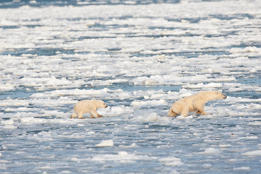 BEA 06 DA0021 01 © Kimball Stock Polar Bear Mother And Cub Jumping On Ice At Hudson Bay, Canada