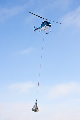 BEA 06 DA0024 01 © Kimball Stock Helicopter Lifting Polar Bear From Polar Bear Compound At Hudson Bay, Canada