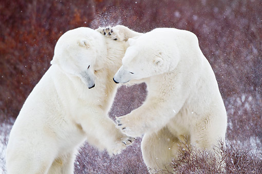BEA 06 DA0029 01 © Kimball Stock Two Polar Bears Sparring In Churchill Wildlife Management Area, Manitoba