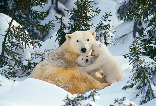 BEA 06 KH0015 01 © Kimball Stock Polar Bear Mother And Cubs Laying On Snow In Forest