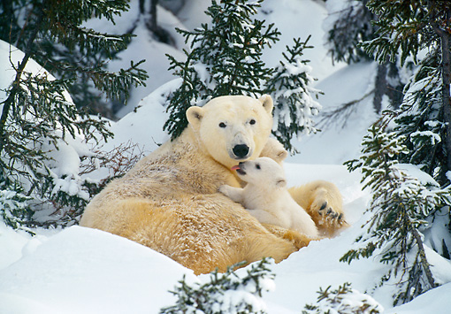 BEA 06 KH0016 01 © Kimball Stock Polar Bear Mother And Cubs Laying On Snow In Forest