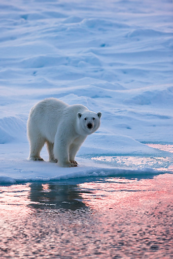 BEA 06 KH0019 01 © Kimball Stock Polar Bear Standing On Sea Ice At Sunset