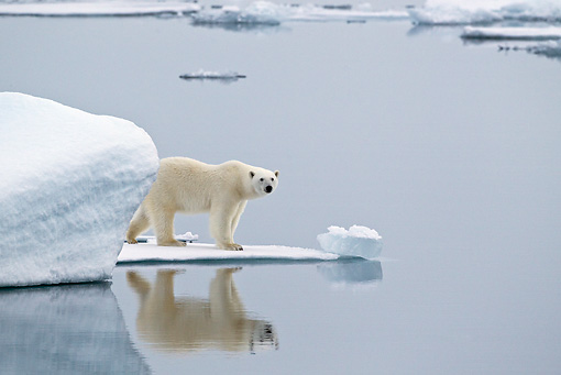BEA 06 KH0022 01 © Kimball Stock Polar Bear Standing On Sea Ice By Reflection In Water